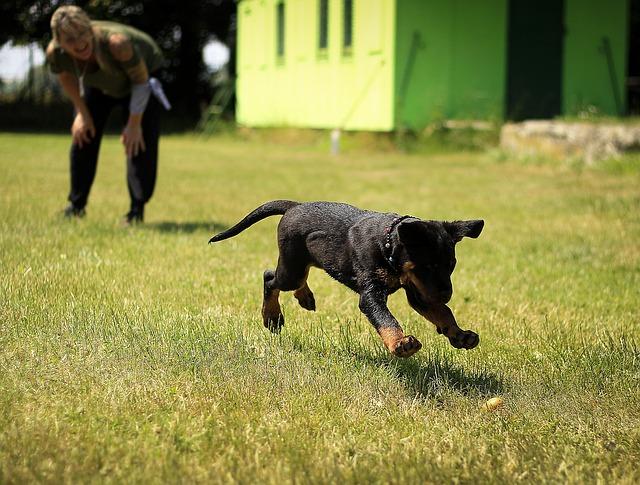 štěně rotvajler
