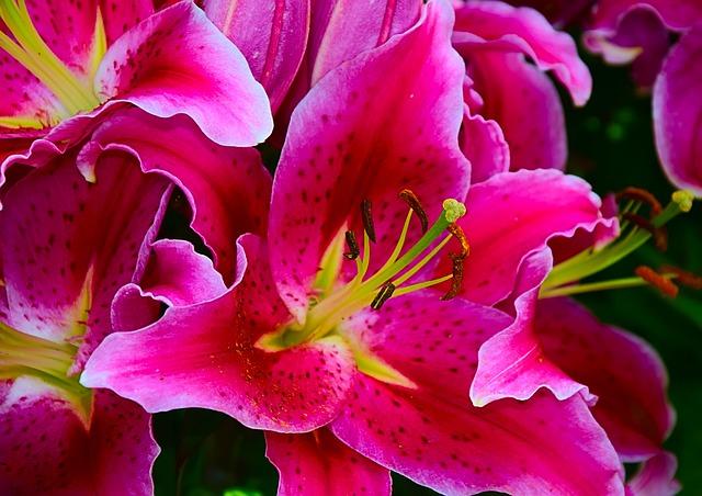 květy denivky