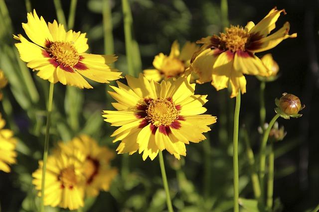 květy krásnoočka